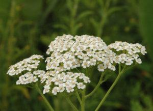 фото травы тысячилистик для лечения конъюнктивита