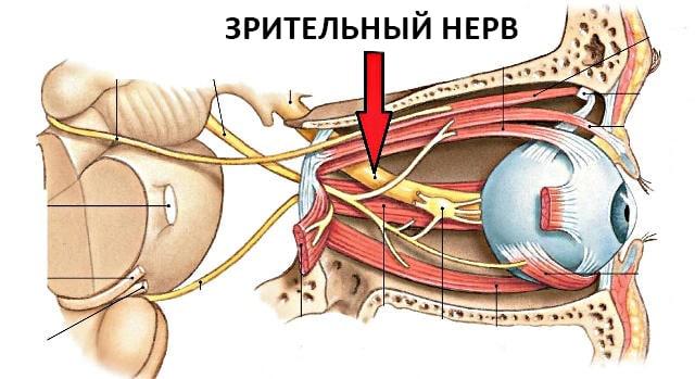 зрительный нерв на схеме