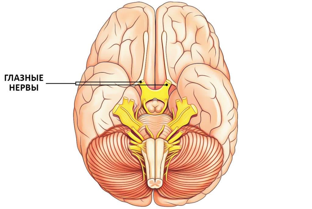 мозг и глазные нервы