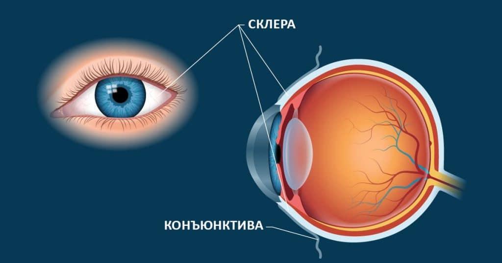 склера глаз на схеме