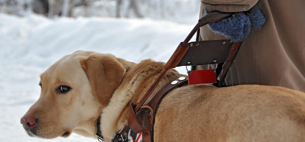 фото собаки поводыря