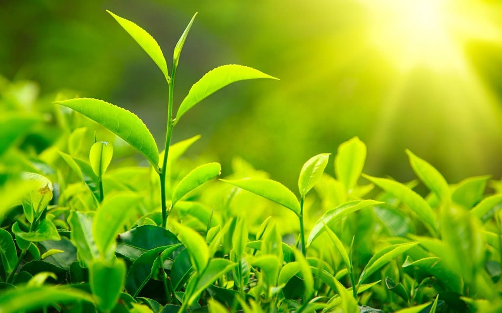 фото растущего зеленого чая