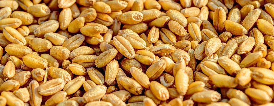фото зерен пшеницы